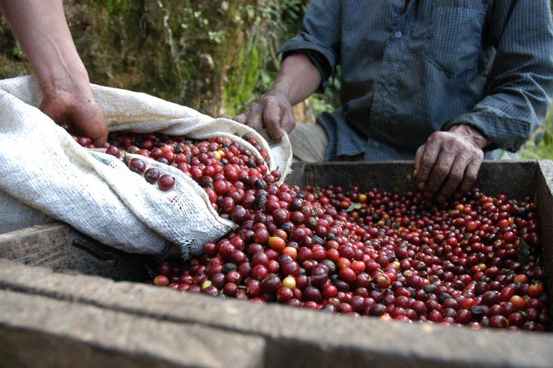 Producción colombiana de café crece 11 pct en mayo