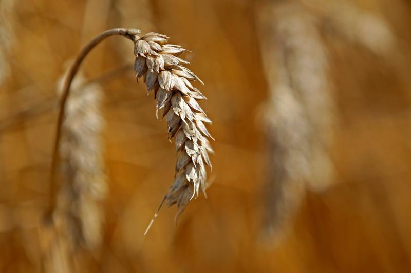 Цены на российскую пшеницу растут, аграрии не спешат расставаться с зерном нового урожая