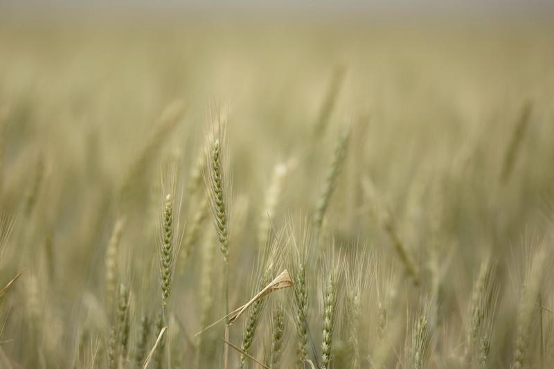 Посевы яровой пшеницы в РФ в этом году на 3,2% больше прошлогодних
