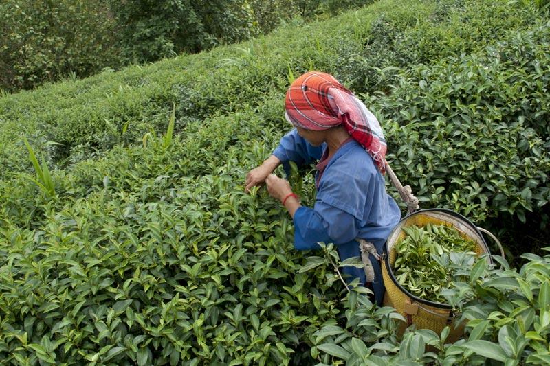 ÇAYKUR: Selden zarar gören üreticilerden iki kat kontenjanla yaş çay alımına devam ediliyor