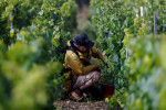 Candles save France's grand cru Chablis from frost ravages
