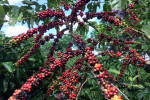 Brazil coffee exports fall 29% in Sept on shipping hurdles