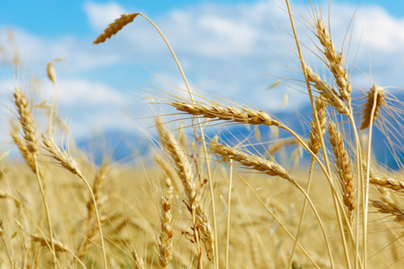U.S. wheat falls for 4th straight session ahead of USDA crop report