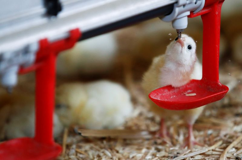 France bans crushing and gassing of male chicks from 2022