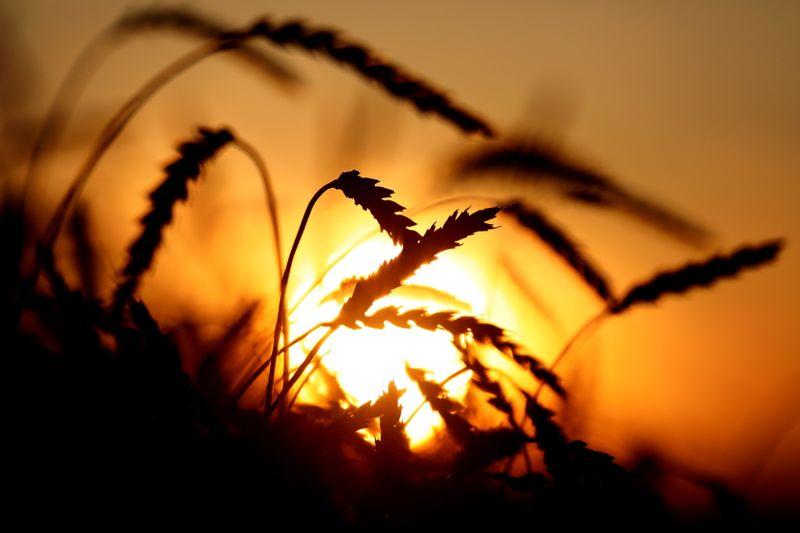 Trigo nos EUA fecha em alta pelo 6º dia seguido; soja e milho também sobem