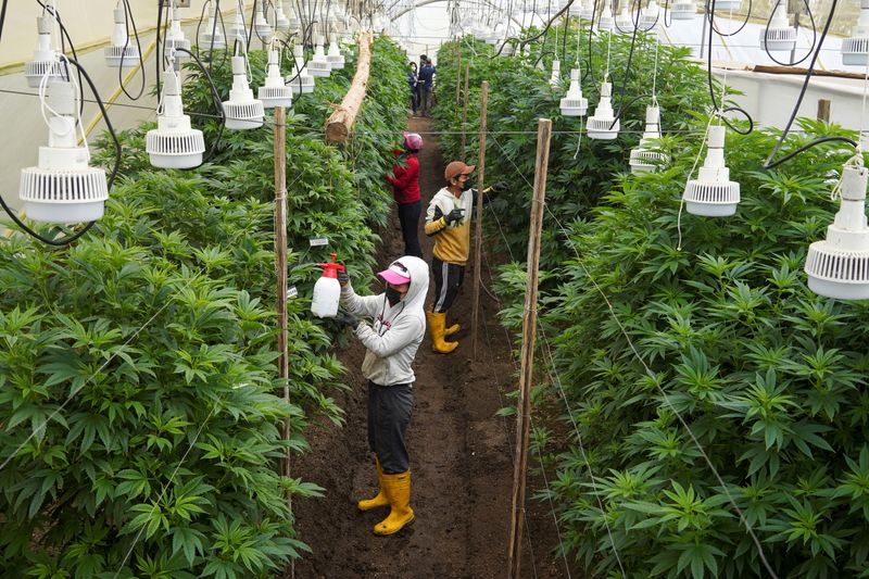 Ecuador's flower industry shifts toward hemp as rose sales wither
