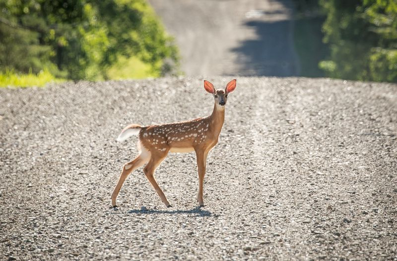 U.S. reports world's first deer with COVID-19
