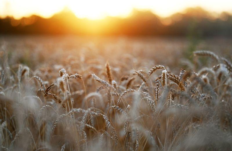 Rusia plantará menos trigo de invierno para la cosecha 2022: analistas