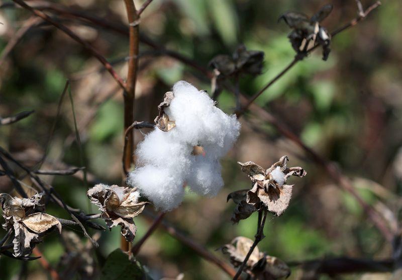 Preços do algodão na ICE marcam melhor trimestre desde março de 2011