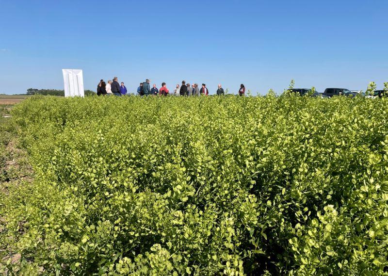 Stinkweed to false flax: oilseeds race to reap biofuel bonanza