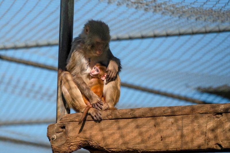 COVID-19 takes center stage at U.S. primate center