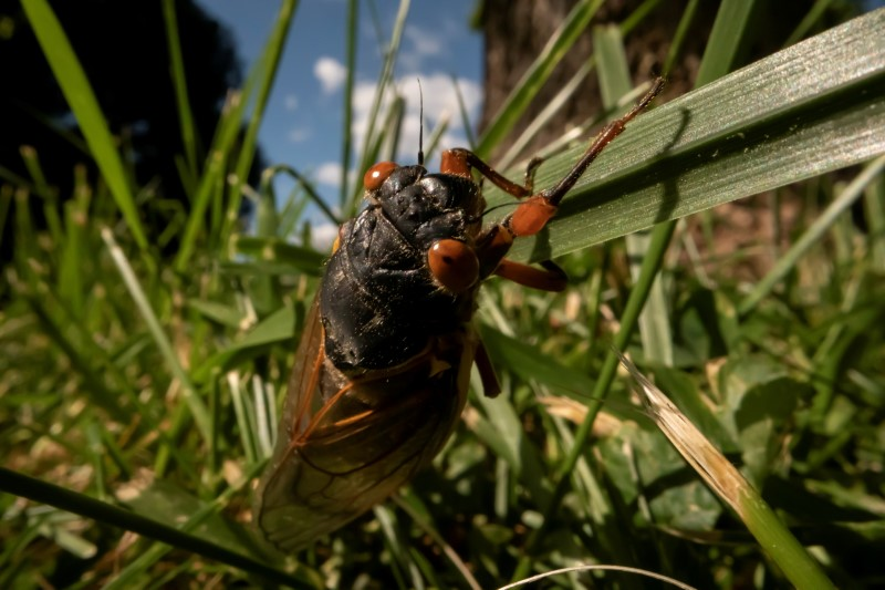 'Like magic': small emergence of cicadas thought to be extinct found in New York